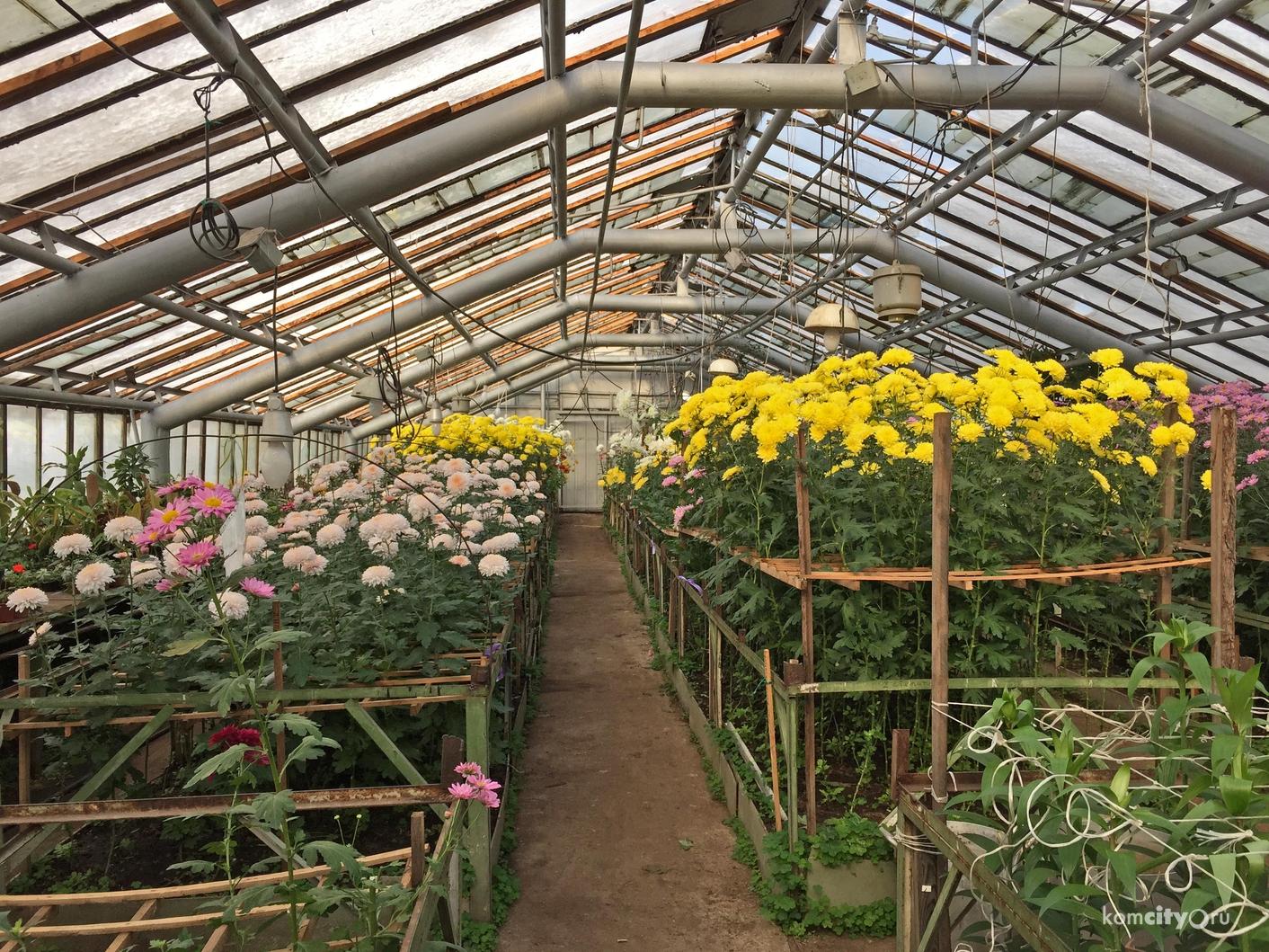 Выращивание хризантем в те 828
